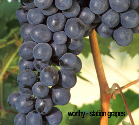 stationgrapes1