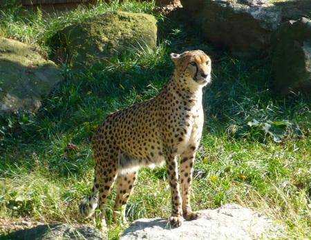 Cheetah at Philadelphia Zoo